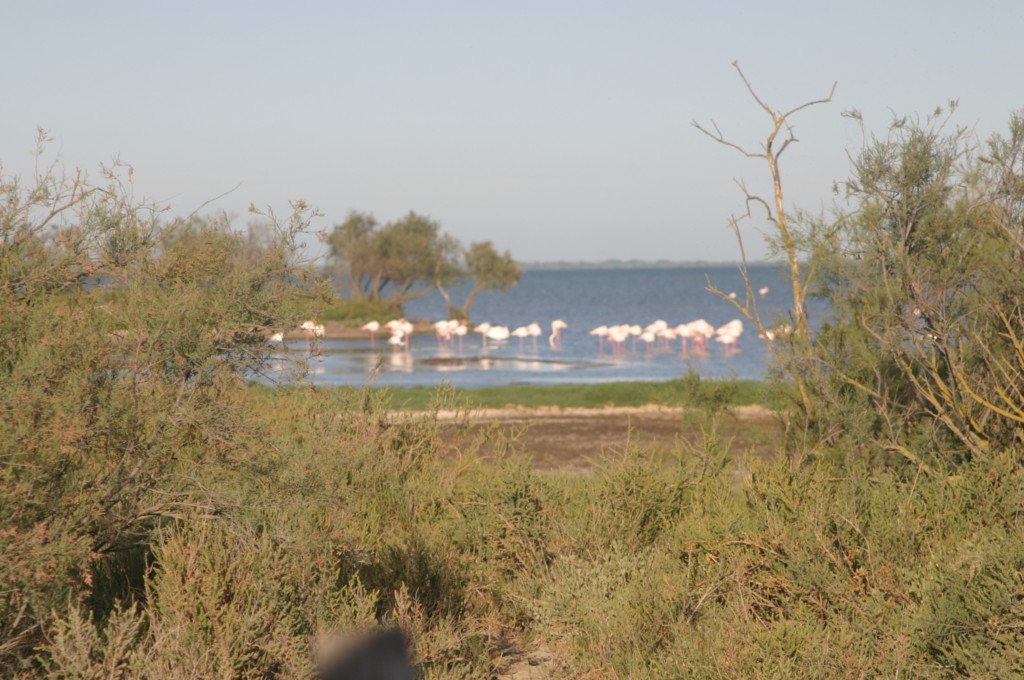 Frankreich Provence Camargue Flamingos Flusskreuzfahrt A-Rosa