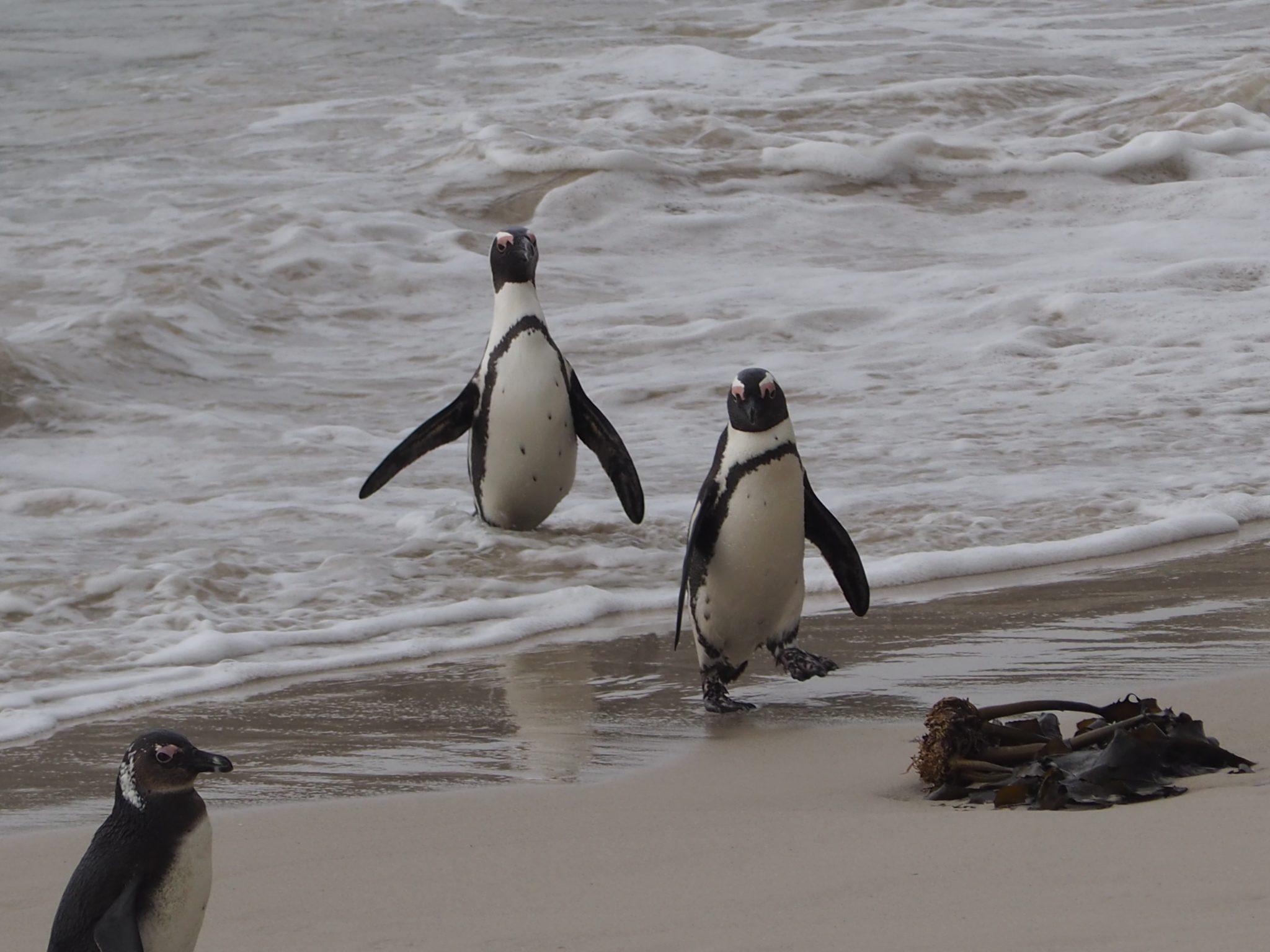 Kapstadt cape town südafrika south africa tafelberg reisen mit kindern familienurlaub boulder´s beach pinguine