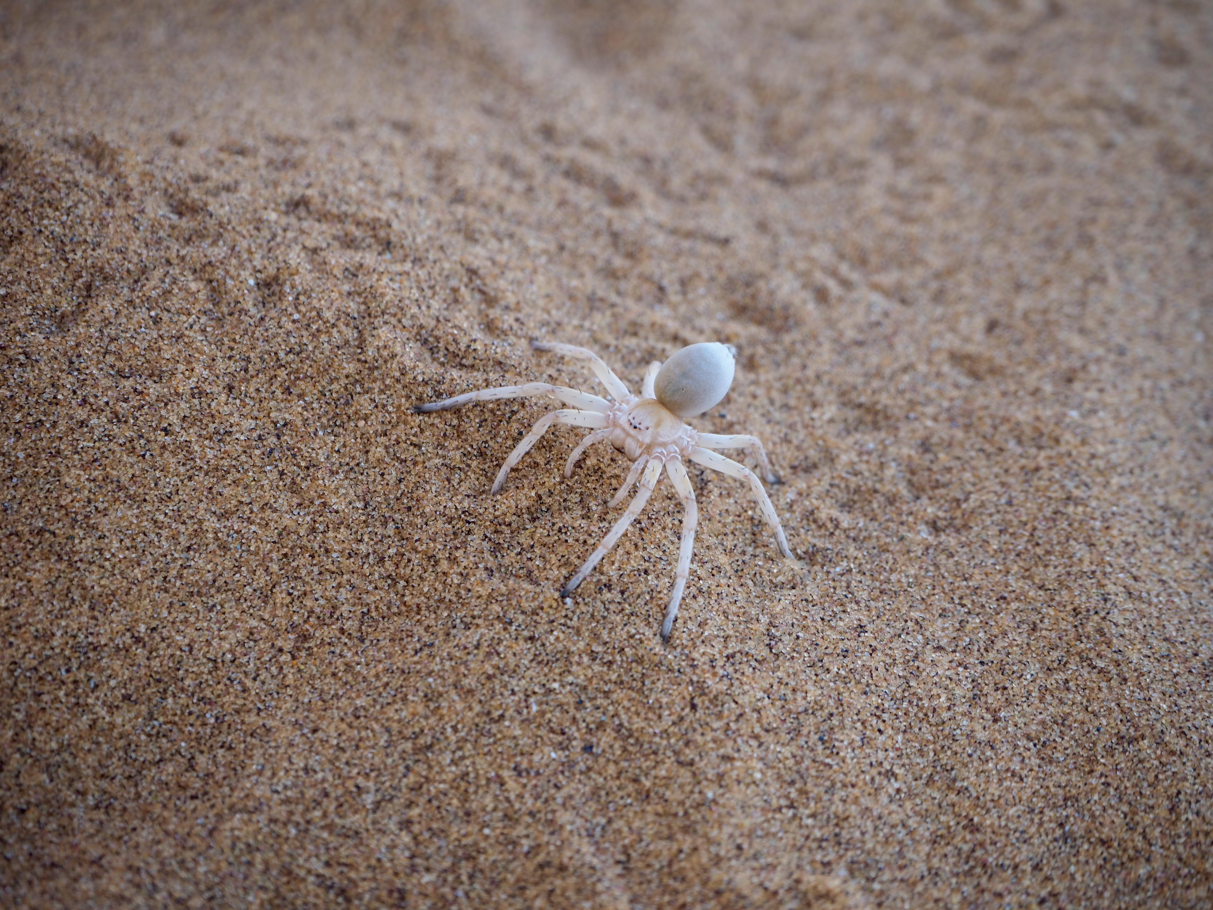 Living desert Swakopmund Namibia Dünen Namib Wüste Spinne Gecko Eidechse