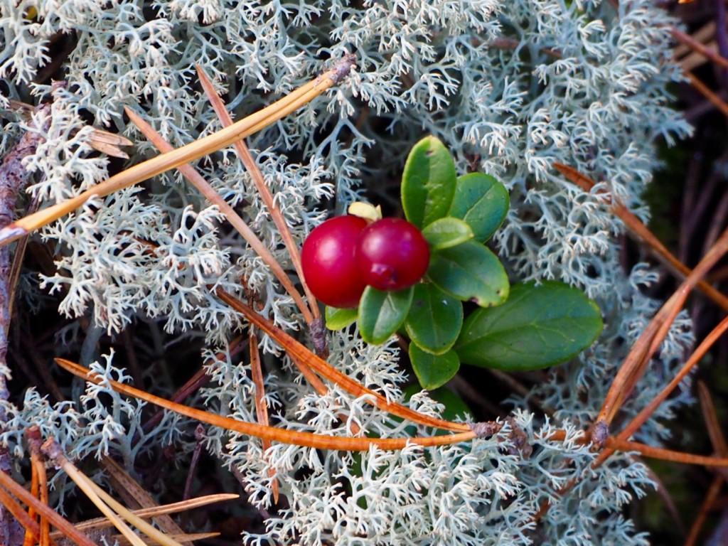 Pilze sammeln in Smaland Schweden Herbst Wald Tovfehult Moos