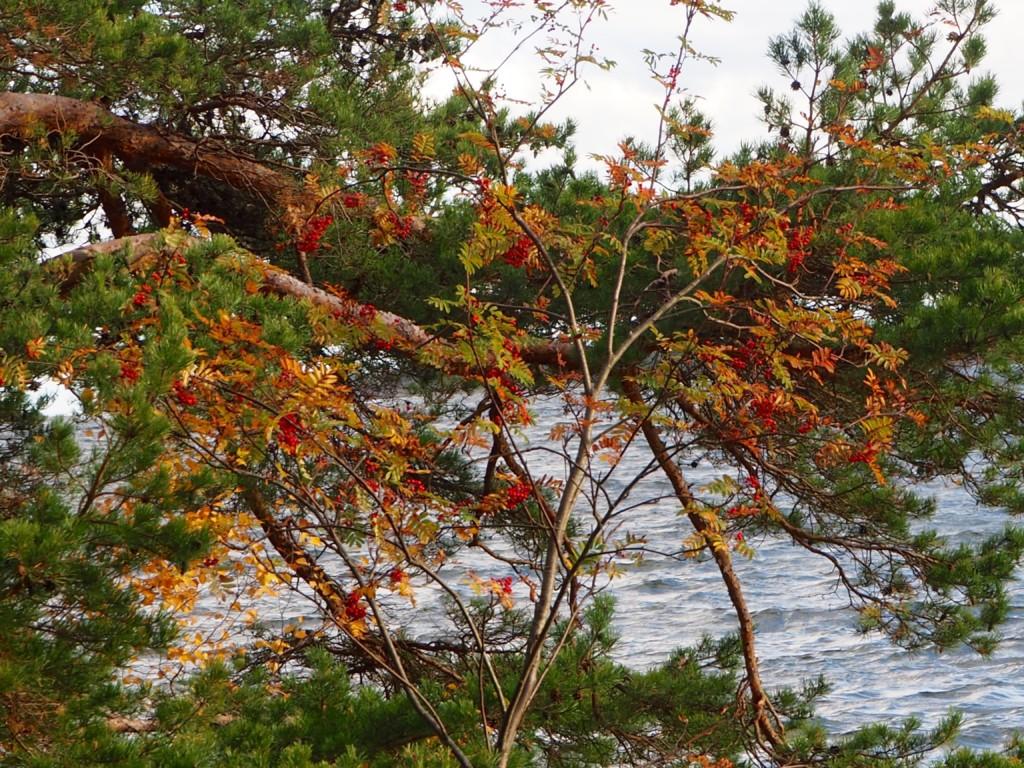 Pilze sammeln in Smaland Schweden Herbst Wald Tovfehult