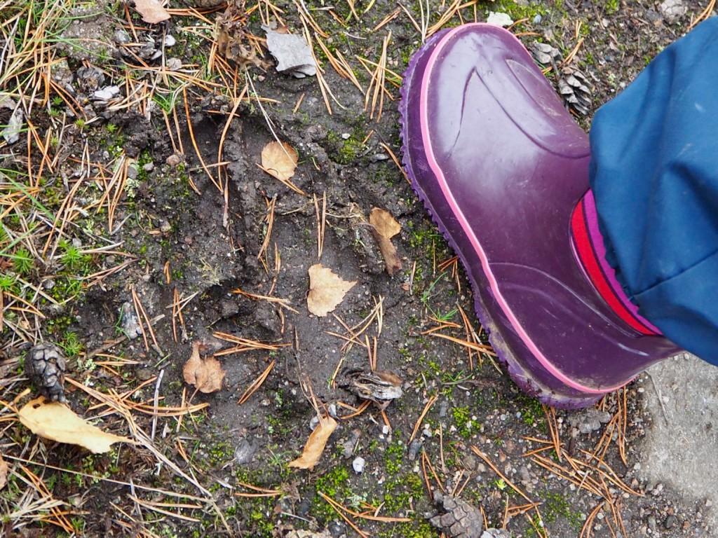 Pilze sammeln in Smaland Schweden Herbst Wald Elchspur