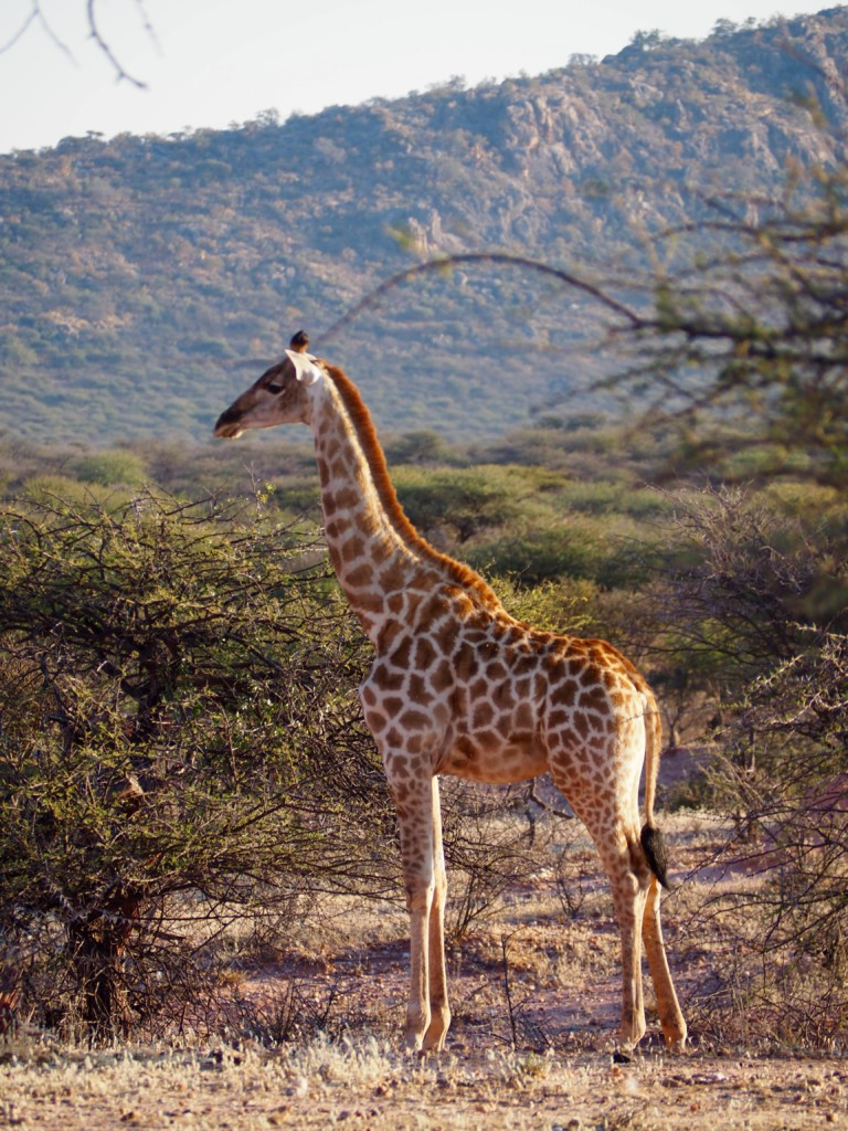 Namibia Omaruru Game drive Mount Etjit Safari Lodge Giraffe