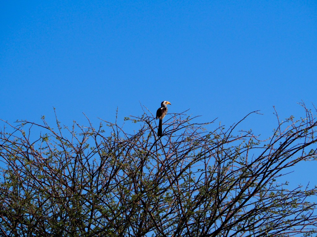 Namibia Omaruru Game drive Mount Etjit Safari Lodge African Fish eagle Seeadler