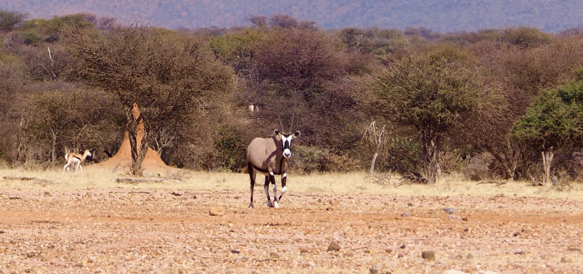 Namibia Omaruru Game drive Mount Etjit Safari Lodge Oryx Antilope