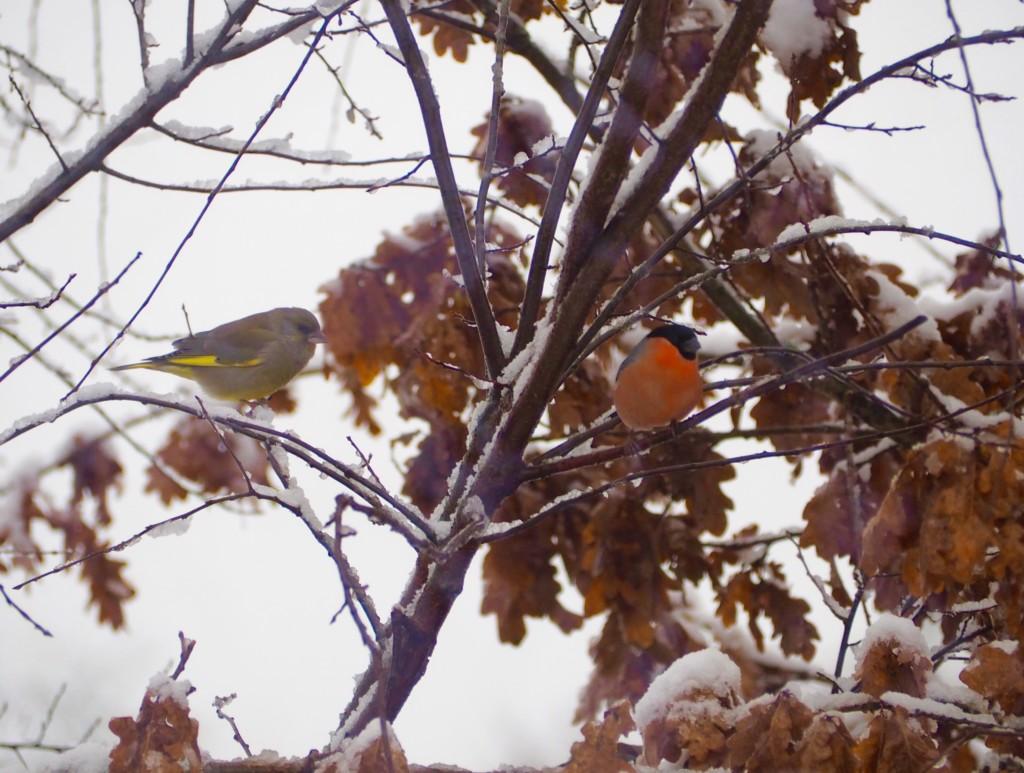 Vögel Winter Futterhaus Schnee Dompfaff Spatz Meise Grünling