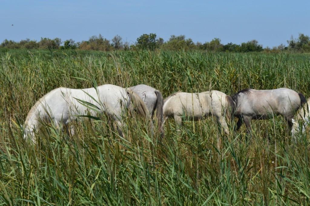 Frankreich Provence Camargue Pferde Flusskreuzfahrt A-Rosa